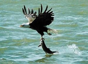 Fotos de animales águila pescando