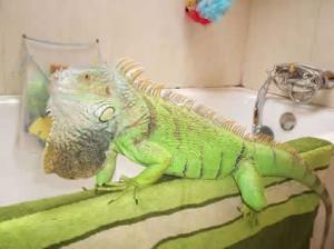 camaleón mascota