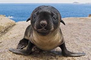 Fotos de animales foca bebé