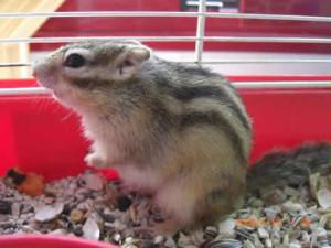 hamster rayado mascota