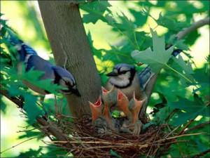 nido polluelos hambrientos
