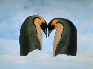 pingüinos enamorados