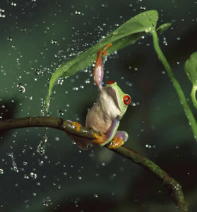 rana con paraguas